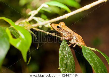 Polypedates - Tree frog in natural habitat Sniharaja rainforest Sri Lanka