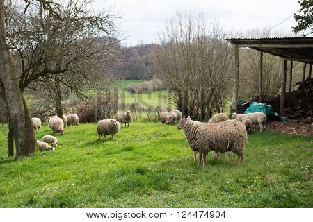 French breed sheep France Rouge d'ouest in little village