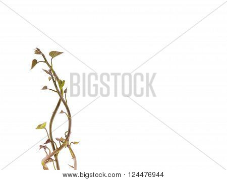 Fresh devious sapling isolate on white background, Clipping Path, Copy Space