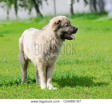 Caucasian Shepherd dog standing on green grass