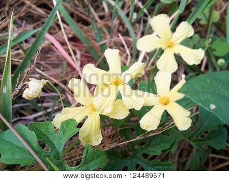 close up yellow Momordica charantia flower in nature garden
