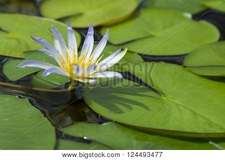 A single Nymphaea Caerulea - Blue Lotus of Egypt flower surrounded by it's leaves on the lily pond. Very shallow focus on the flower leaving the rest soft and dreamy.