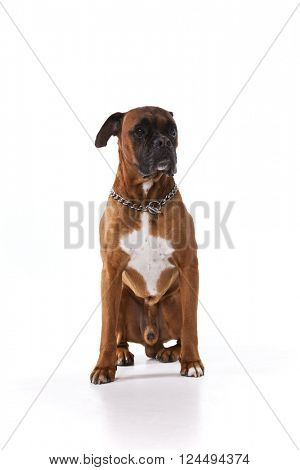 Brown boxer dog
