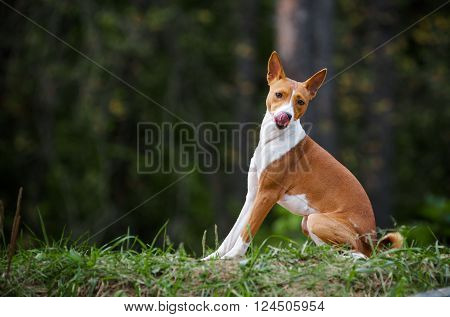sitting basenji dog and with funny face