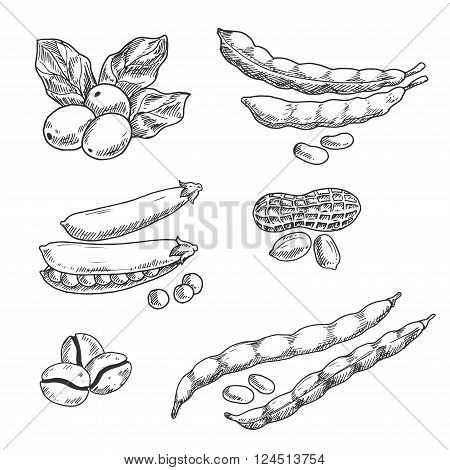 Coffee berries with leaves and roasted beans, pods of sweet pea and common beans, peanuts with dry shell sketches. Use in agriculture harvest, grocery market, vegetarian food and drinks themes design
