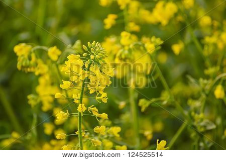 Rapeseed field with yellow flowers, natural agricultural eco spring background