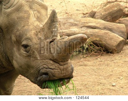 Rhinoceros Eating