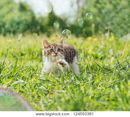 Curiosity kitten playing with soap bubbles on green field in summer front view