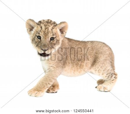 Baby Lion Isolated On White Background
