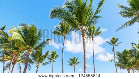 Palm Trees, Nature Of Dominican Republic