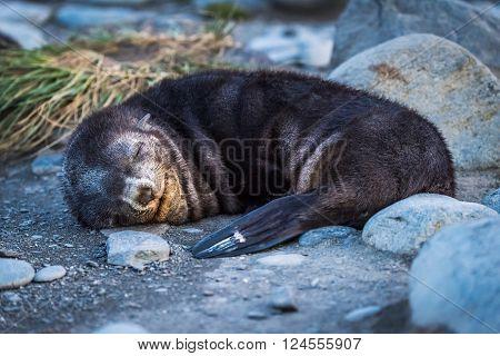 Antarctic fur seal asleep on stony beach poster