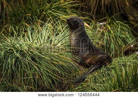 Antarctic fur seal lying in tussock grass