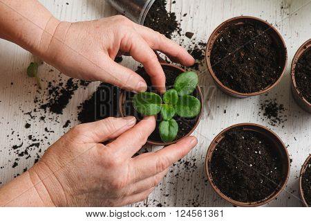 Woman plants a houseplant. Picture of the old woman's hand planting houseplant indoors. Several brown flower pot with soil heap of soil on a light wooden background. Earth Day. view from above.