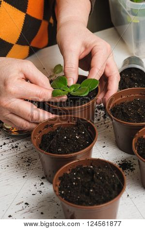 Woman plants a houseplant. Picture of the old woman's hand planting houseplant indoors. Several brown flower pot with soil heap of soil on a light wooden background. Earth Day. poster