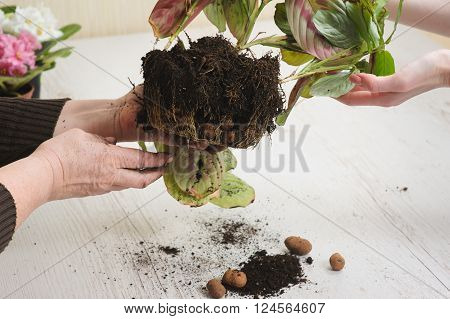 Old woman's hand and hand of young girl. Old woman giving young girl houseplant that grows in lump of soil. Relocation houseplant indoors. Heap of soil on light wooden background. Earth Day.