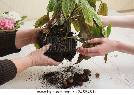 Old woman's hand and hand of young girl. Mother giving daughter houseplant that grows in lump of soil. Relocation houseplant indoors. Heap of soil on light wooden background. Earth Day.