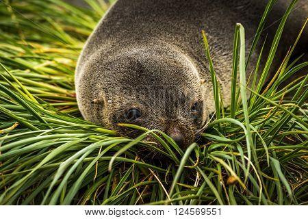 Close-up of Antarctic fur seal in grass poster
