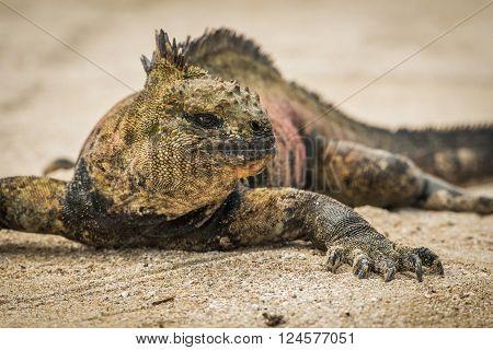 Close-up of marine iguana sunbathing on beach