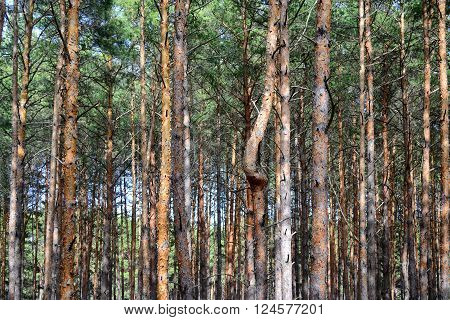 pine trees with a single curved trunk among dense wood of staight ones
