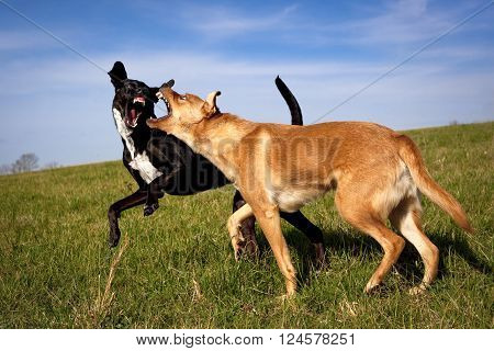 Two mutts play fighting in green field baring their teeth at each other