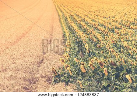 Cereal And Sunflowers Fields View