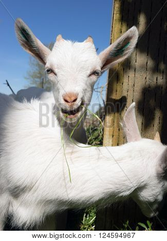 Several newborn white Goats have escaped too small for the fence to hold them