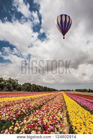 Great multi-colored balloon flies over flower field. Quiet sunny spring day. Flowers on the field planted by color stripes. Flower kibbutz near Gaza Strip
