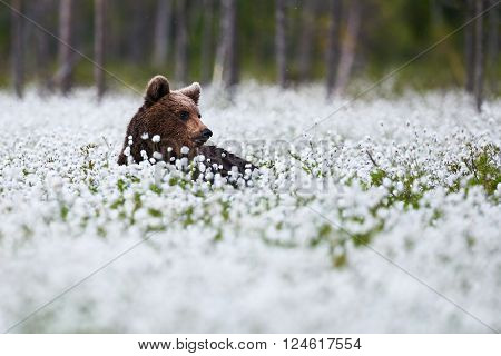 Brown bear lying among the cotton grass in the finnish taiga