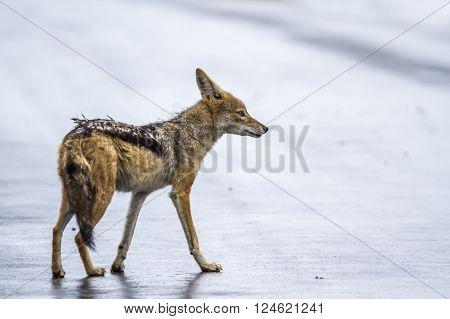 Specie Canis mesomelas family of canidae, black backed jackal on the road, Kruger park