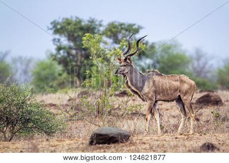 Specie Tragelaphus strepsiceros family of bovidae, greater kudu standing in the bush in Kruger Park