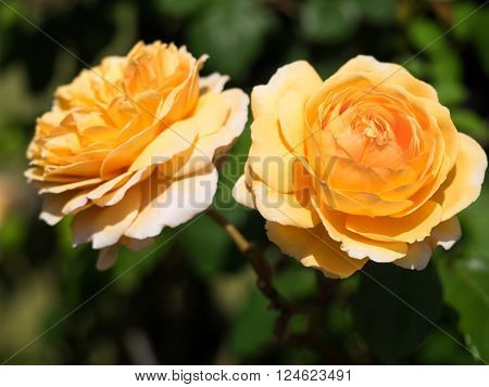 The flower of a rose is elegant and beautiful.