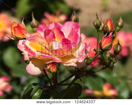 The flower of a rose is elegant and beautiful. ** Note: Shallow depth of field