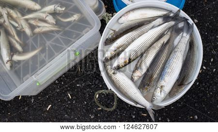 A bucket of mullet fish and a plastic box of sardine are typical fishermen's catch on Galata Bridge Istanbul Turkey.