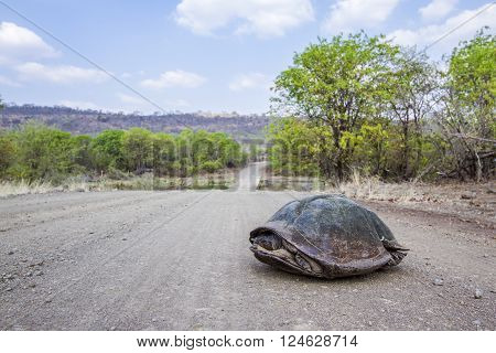 Specie Stigmochelys pardalis family of Testudinidae, leopard tortoise on the road in Kruger Park