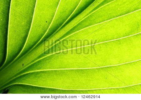 green leaf vein macro close up