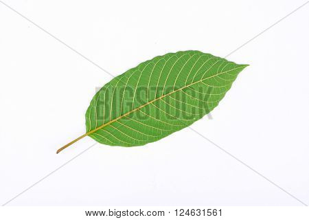 The back of Kratom leaf (Mitragyna speciosa), a plant of the madder family used as a habitforming drug