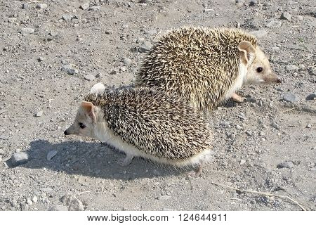 photography with scene hedgehog with greater ears ** Note: Visible grain at 100%, best at smaller sizes