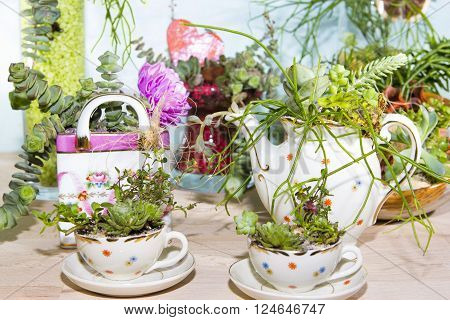 Serveral Succulents planted in small cups and coffe pot very decorative indoor gardening.