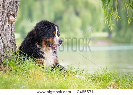 Bernese mountain dog lying on the green shores of Lake