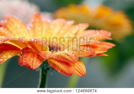 Orange daisy gerbera flower with waterdrops