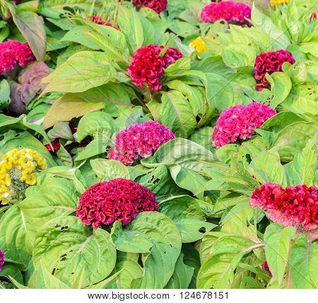 Colorful Cockscomb flower or Celosia cristata flower in the garden