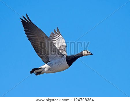 Barnacle goose in flight with blue skies in the background