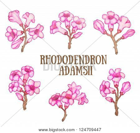 Rhododendron adamsii sagan-dali,  labrador tea flowers watercolor illustration