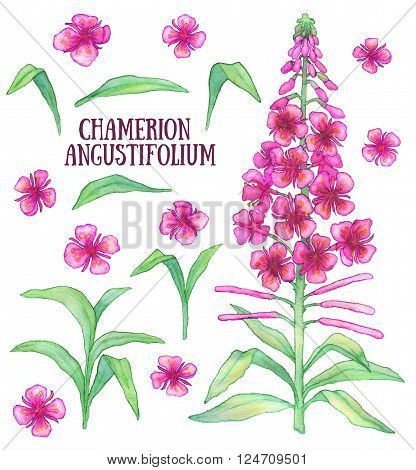 Fireweed chamerion angustifolium  rosebay willowherb aquarelle illustration