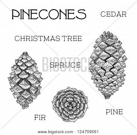 Pinecones set. Cedar, christmas tree, spruce, fir, pine isolated on white hand-drawn illustration