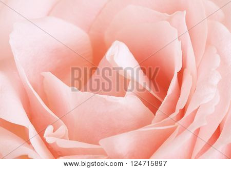 fresh pink rose flower background, close up