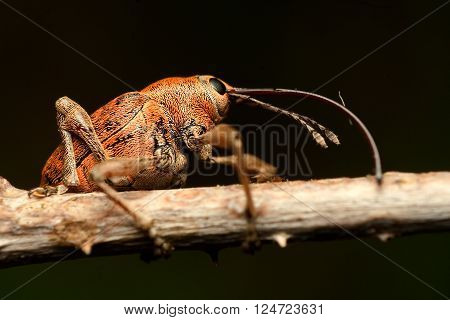 Bug on Stem, Curculio is a genus of weevils belonging the family Curculionidae and subfamily Curculioninae poster