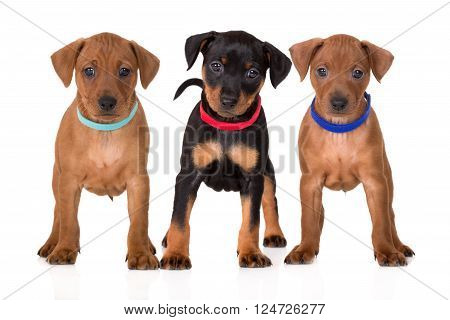adorable miniature pinscher puppies posing on white