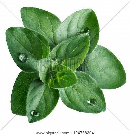 Syrian Oregano (origanum Syriacum)