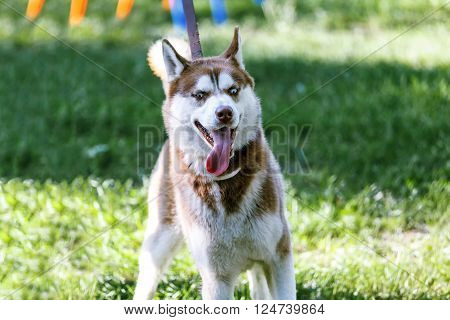 Panting Siberian Husky with blue eye pulling on a leash at the green grass